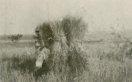 Harvesting in Salonika. Thessaloniki, Macedonia